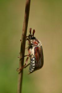 Le Hanneton forestier (Melolontha hippocastani)<br> Aqueduc de la Dhuis<br> Forêt domaniale de Fontainebleau