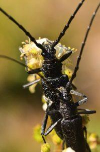 Accouplement de Petits Capricornes (Cerambyx scopolii)<br> Aqueduc de la Dhuis<br> Forêt domaniale de Fontainebleau