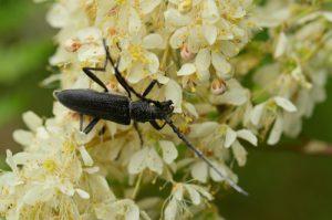 Le Petit Capricorne (Cerambyx scopolii)<br> Aqueduc de la Dhuis<br> Forêt domaniale de Fontainebleau
