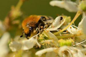La Trichie fasciée (Trichius fasciatus)<br> Aqueduc de la Dhuis<br> Forêt domaniale de Fontainebleau