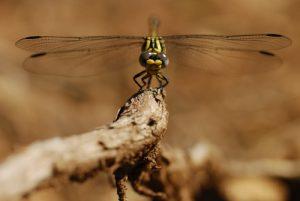 La libellule Onychogomphe à crochets (Onychogomphus uncatus)<br> Le belvèdère du Single<br> Parc Naturel National des Cévennes