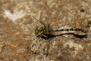 La libellule Onychogomphe à pinces (Onychogomphus forcipatus)<br> Le belvèdère du Single<br> Parc Naturel National des Cévennes