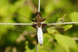 La Libellule déprimée (Libellula depressa)<br> Le belvèdère du Single<br> Parc Naturel National des Cévennes