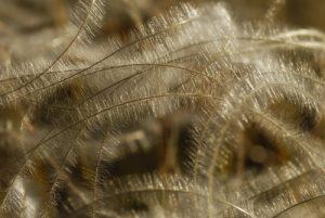 La Stipe pennée (Stipa pennata)<br> Le belvèdère du Single<br> Parc Naturel National des Cévennes