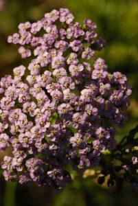 Flore du PNN des Cévennes<br> Le belvèdère du Single<br> Parc Naturel National des Cévennes