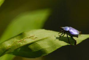 Le scarabée Hoplie bleue (Hoplia coerulea)<br> Les Gorges du Tarn<br> Parc Naturel National des Cévennes