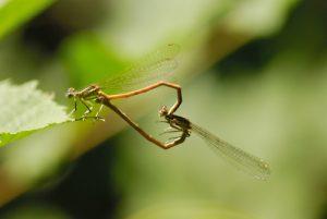 Tandem de libellules Pennipatte orangé (Platycnemis acutipennis)<br> Parc Naturel National des Cévennes