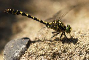 La libellule Onychogomphe à pinces (Onychogomphus forcipatus)<br> Les Gorges du Tarn<br> Parc Naturel National des Cévennes