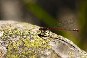 La libellule Nymphe au corps de feu (Pyrrhosoma nymphula)<br> Le Mont Lozère<br> Parc Naturel National des Cévennes