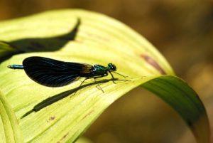 La libellule Caloptéryx vierge (Calpoteryx virgo)<br> Le Mont Lozère<br> Parc Naturel National des Cévennes