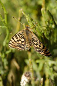 Papillon du PNN des Cévennes<br> Le Mont Lozère<br> Parc Naturel National des Cévennes