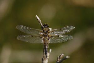 La libellule à quatre taches (Libellula quadrimaculata)<br> Le Mont Lozère<br> Parc Naturel National des Cévennes