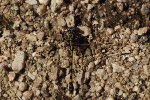 La libellule Onychogomphe à forceps (Onychogomphus uncatus)<br> Le Mont Lozère<br> Parc Naturel National des Cévennes