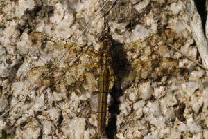 La libellule Orthétrum bleuissant (Orthetrum coerulescens)<br> Le Mont Lozère<br> Parc Naturel National des Cévennes