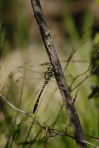 La libellule Cordulégastre annelé (Cordulegaster boltonii)<br> Le Mont Lozère<br> Parc Naturel National des Cévennes