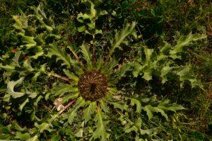 La Carline à feuilles d'acanthe (Carlina acanthifolia)<br> Le Causse Méjean<br> Parc Naturel National des Cévennes
