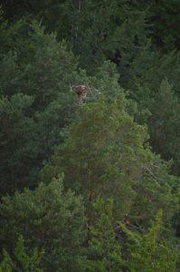 Le Vautour moine (Aegypius monachus)<br> Point de vue du Roc des Hourtous<br> Parc Naturel National des Cévennes