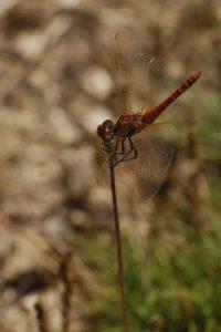 La libellule Sympétrum à nervures rouges (Sympetrum fonscolombii)<br> Le Lac des Pises<br> La Montagne du Lingas (Massif de l'Aigoual)<br> Parc Naturel National des Cévennes