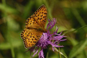 Papillon<br> Le Lac des Pises<br> La Montagne du Lingas (Massif de l'Aigoual)<br> Parc Naturel National des Cévennes