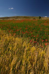 Champ de Coquelicots (Papaver rhoeas)<br> Le Causse Méjean<br> Parc Naturel National des Cévennes