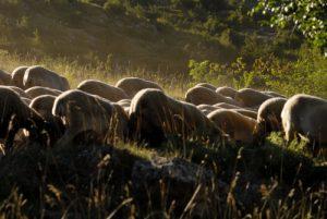 Mouton - Causse Méjean  Parc régional des Grands Causses