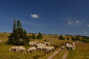 Troupeau de Moutons (Ovis aries)<br> Le sommet du Finiels<br> Le Mont Lozère<br> Parc Naturel National des Cévennes