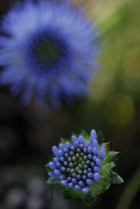 Fleur<br> L'Étang de Barrandon<br> Le Mont Lozère<br> Parc Naturel National des Cévennes