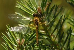 La libellule Sympétrum jaune (Sympetrum flaveolum)<br> L'Étang de Barrandon<br> Le Mont Lozère<br> Parc Naturel National des Cévennes