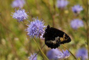 Papillon<br> L'Étang de Barrandon<br> Le Mont Lozère<br> Parc Naturel National des Cévennes