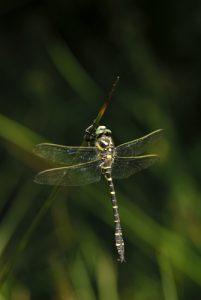 Cordulegastre annelé (Cordulegaster boltonii)<br> L'Étang de Barrandon<br> Le Mont Lozère<br> Parc Naturel National des Cévennes