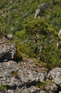 Les corniches des Gorges de la Jonte du Causse Noir<br> Parc Naturel Régional des Grands Causses