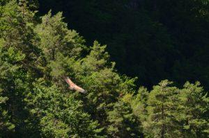 Le Vautour fauve (Gyps fulvus) à l'Ermitage de St Michel<br> Les corniches des Gorges de la Jonte du Causse Noir<br> Parc Naturel Régional des Grands Causses