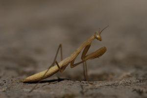 Mante religieuse (Mantis religiosa)<br> Parc Naturel Régional des Grands Causses