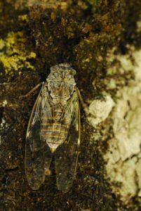Le Cacan, Cigale grise ou panachée (Cicada orni)<br> Le Causse Noir <br> Parc Naturel Régional des Grands Causses