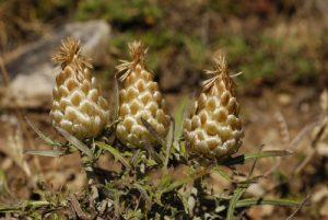 La Leuzée à cône (Leuzea conifera)<br> Parc Naturel Régional des Grands Causses