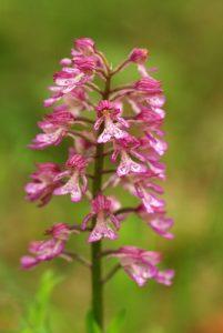 Orchidée Orchis militaire (Orchis militaris)<br> Parc Naturel Régional du Vercors