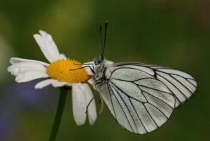 Papillon le Gazé (Aporia crataegi)<br> Parc Naturel Régional du Vercors