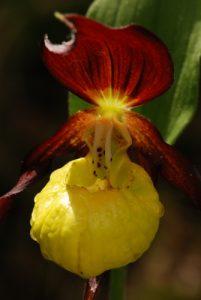 Le Sabot de Vénus (Cypripedium calceolus)<br> Parc Naturel Régional du Vercors