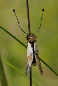 Ascalaphe ottoman (Libelloides ottomanus )<br> Les gorges du Gats<br> Parc Naturel Régional du Vercors