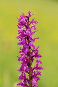 Orchidée Orchis mâle (Orchis mascula)<br> Parc Naturel Régional du Vercors