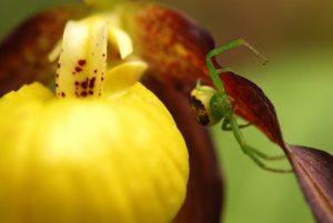 Mimétisme parfait entre une Thomise femelle (Diaea dorsata) &amp; le Sabot de Vénus (Cypripedium calceolus)<br> <br> Parc Naturel Régional du Vercors