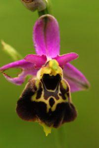 Orchidée Ophrys bourdon (Ophrys fuciflora)<br> Parc Naturel Régional du Vercors