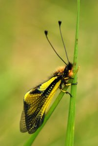 Ascalaphe soufré (Libelloides coccajus)<br> Le cirque d'Archiane<br> Parc Naturel Régional du Vercors