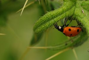 La Coccinelle à sept points (Coccinella septempunctata)<br> Parc Naturel Régional du Vercors
