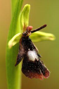 L'Ophrys mouche (Ophrys insectifera)<br> Parc Naturel Régional du Vercors