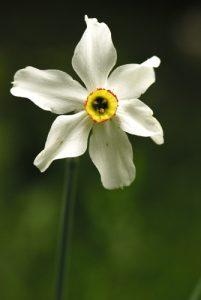 Le Narcisse des poètes (Narcissus poeticus)<br> Les Sucettes de Borne<br> Parc Naturel Régional du Vercors