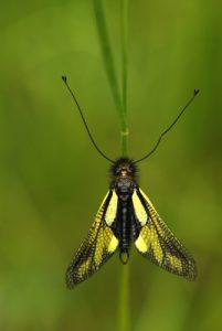 Ascalaphe soufré (Libelloides coccajus)<br> Les Sucettes de Borne<br> Parc Naturel Régional du Vercors