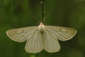 Papillon<br> Les Sucettes de Borne<br> Parc Naturel Régional du Vercors