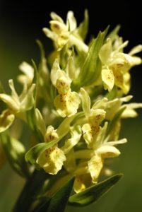 L'Orchis sureau (Dactylorhiza sambucina)<br> Réserve Naturelle Nationale des Hauts Plateaux du Vercors<br> Parc Naturel Régional du Vercors