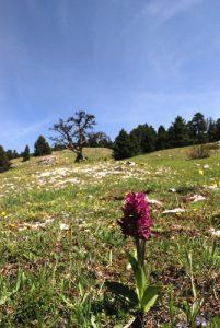 L'Orchis sureau (Dactylorhiza sambucina)<br>  Réserve Naturelle Nationale des Hauts Plateaux du Vercors<br>Parc Naturel Régional du Vercors